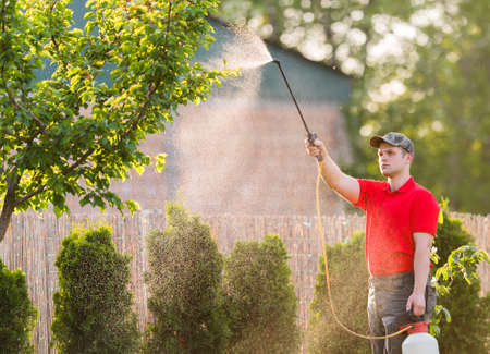 Gardener applying an insecticide fertilizer to his fruit shrubs, using a sprayer