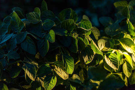 cultivated: Soybean Field Rows in sunset