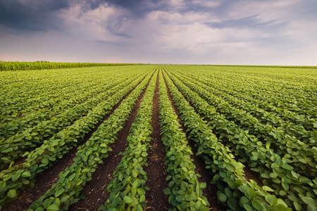 soya bean:  Agricultural soy plantation on sunny day - Green growing soybeans plant against sunlight