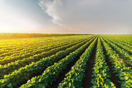 Agricultural soy plantation on sunny day - Green growing soybeans plant against sunlight Stockfoto