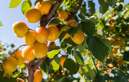 Fresh, organic, ripe apricots on the branch Stockfoto