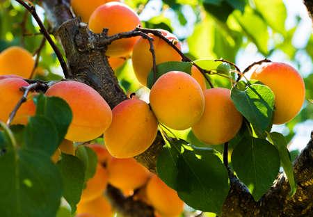 Fresh, organic, ripe apricots on the branch Foto de archivo