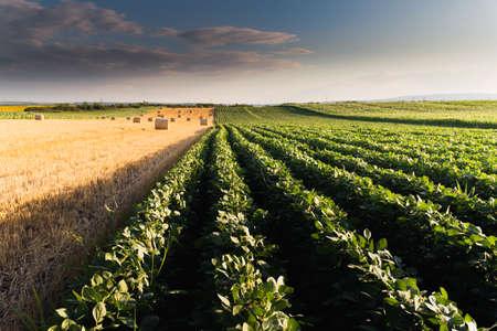 biomasa: Bala de trigo en el campo después de la cosecha Foto de archivo