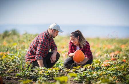 Two young farmers harvesting very big pumpkins at field - Thanksgiving and Halloween preparation