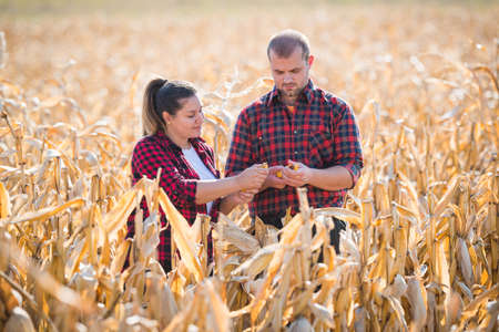 agronomist: Young farmers in corn fields during harvest