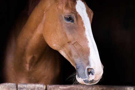 Portrait of a beautiful brown purbred horse Stock Photo