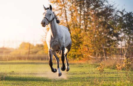 Beautiful arabian horse run gallop in flower meadow Stock Photo