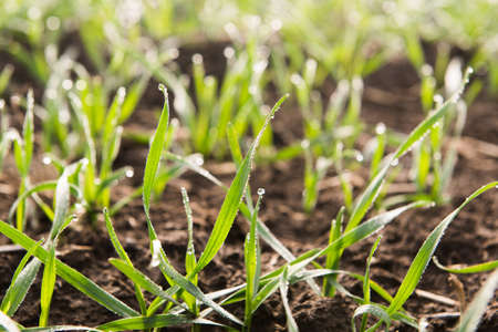 Young wheat seedlings growing in a soil - macro