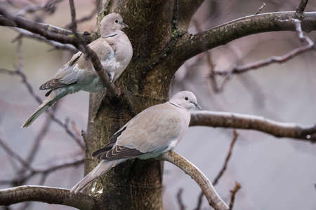 Turtledoves on a tree shivering in cold