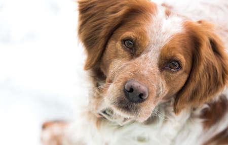Orange and white French Brittany Spaniel portrait