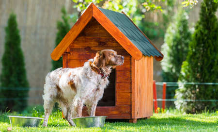 Orange and white French Brittany Spaniel in front of his little wooden house Foto de archivo