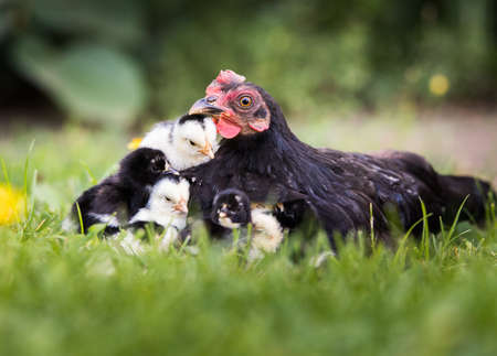 Hen with baby chickens hiding under its wings, birds on the yard Reklamní fotografie