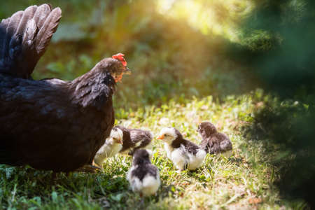 Hen with baby chickens hiding under its wings, birds on the yard Stock Photo