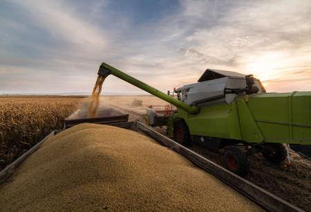 Wsypywanie ziarna soi do przyczepy ciągnika po zbiorach na polu