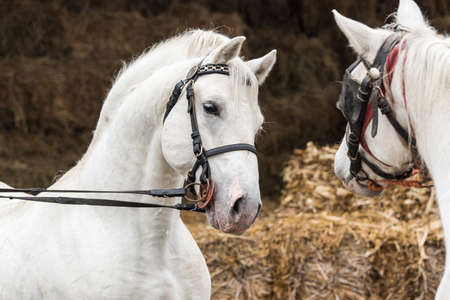 Pair of two beautiful strong white horse 스톡 콘텐츠