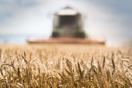 Harvesting of wheat field with combine in early summer