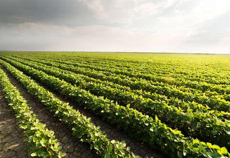 Soybean plantation at sunny day