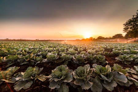 Irrigation system for watering cabbage field Banco de Imagens