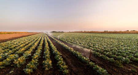 Système d'irrigation pour l'arrosage des champs de choux