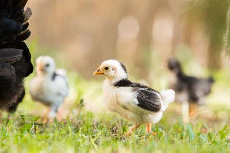 Small baby chicken 版權商用圖片