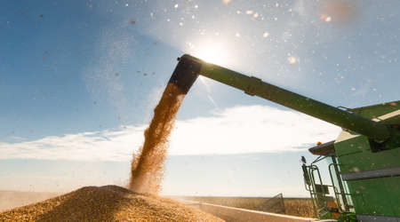 Pouring corn grain into tractor trailer after harvest at field Stockfoto