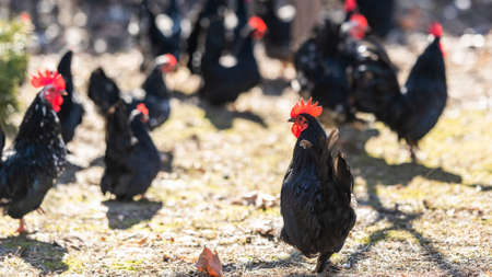 A flock of hens, chickens and rooster roam freely in a yards 免版税图像