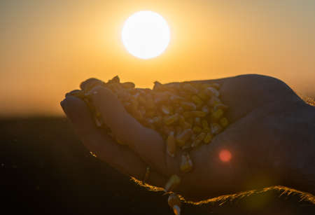 Farmer holding ripe corn grains in his hands at sunset  after harvest
