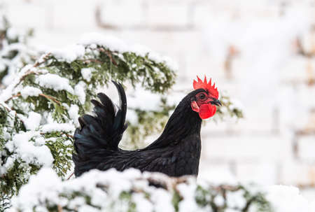 Chicken in the snowy backyards
