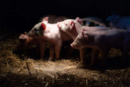 Newborn baby pigs in the straw nest at stall