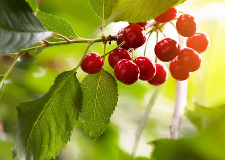 Ripe red cherries on tree in cherry orchard