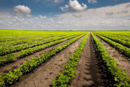 Pole z uprawą soi i błękitnym niebem w tle.