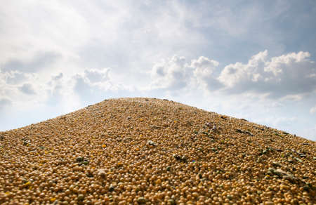 Pile of soybeans on the trailer after the harvest.