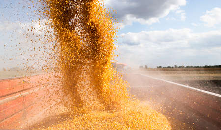 Combine harvester pours corn maize seeds. 스톡 콘텐츠