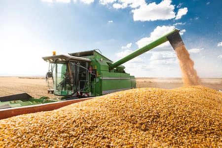 Cosechadora vierte semillas de maíz maíz.