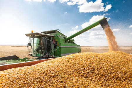 La mietitrebbiatrice versa i semi di mais di mais.