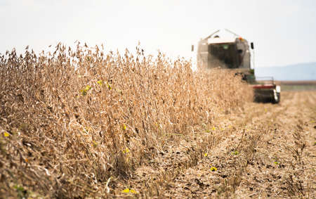 Combine harvester working in a soybean field 스톡 콘텐츠