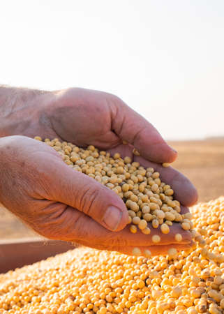 Hands of peasant holding soy beans after harvest 스톡 콘텐츠