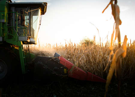Combine Operator Harvesting Corn on the Field in sunset. 스톡 콘텐츠