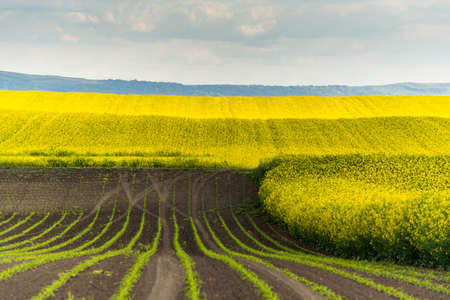 Agricultural landscape of canola or rapeseed farm field