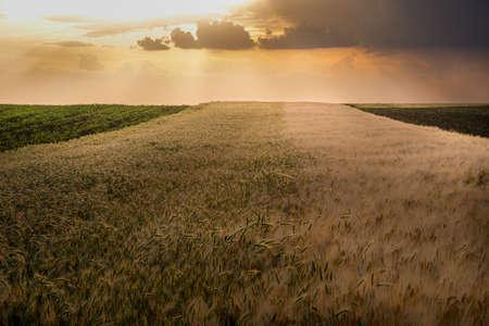 Open wheat field at sunset.Wheat field .