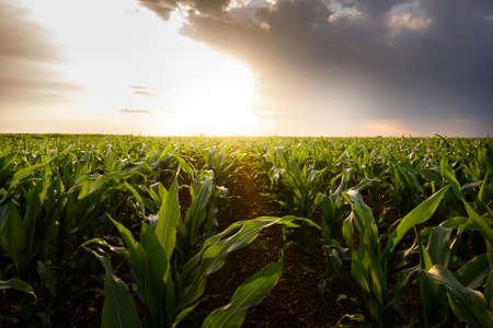 Open corn field at sunset.Corn field .