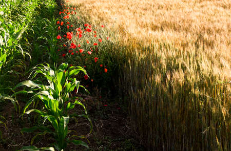 Beautiful poppies in a wheat field at sunrise  Stock Photo
