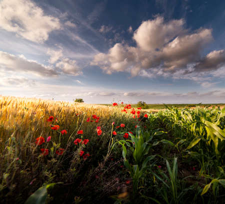Beautiful poppies in a wheat field at sunrise