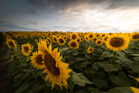 A sunflower field at sunset with a cloudy sky. Imagens
