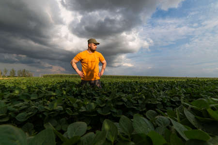 Farmer in soybean fields. Growth, outdoor.