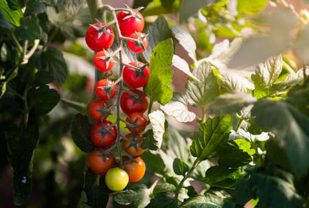 Cherry tomato production in green house