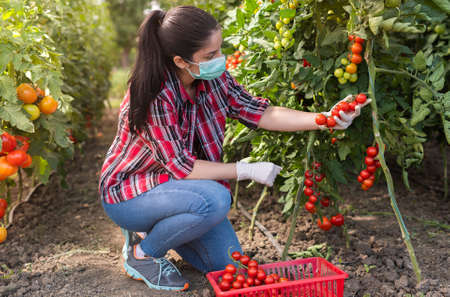 Young woman in a greenhouse picking some red tomatoes and greenery wearing a face mask.