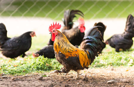 Rooster and Chickens. Free Range and Hens