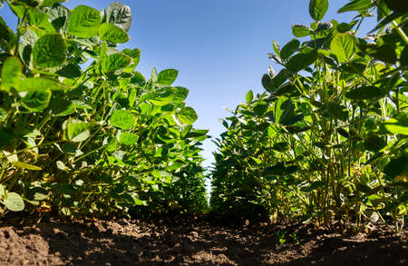 Young soybean plants growing in cultivated field