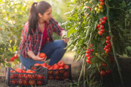 Young woman in a greenhouse picking some red tomatoes Imagens